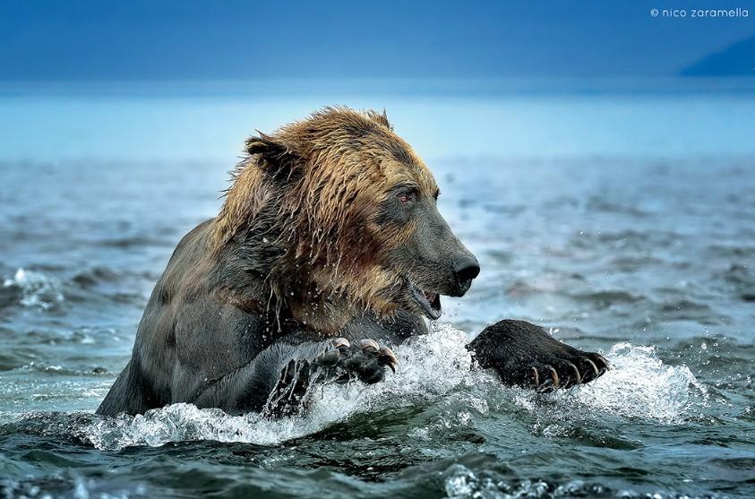 La foto ritrare un orso intento a nuotare nell'aqua libera